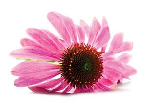 Echinacea Angustifolia